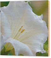 Datura Hybrid White Flower Wood Print