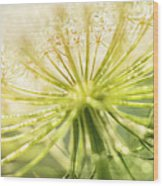 Daucus Carota - Queen Anne's Lace - Wildflower Wood Print