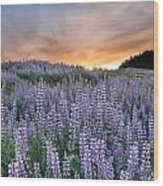 Dawn Of Lupine Wood Print