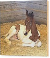 Day Old Colt Wood Print