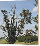 Dead Tree With Ivy Wood Print
