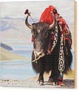 Decorated Yak At Gamta Pass Wood Print
