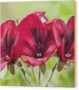 Deep Crimson Pelargonium Wood Print