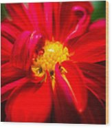 Deep Red Dahlia With Yellow Center Wood Print