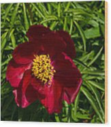 Deep Red Peony With Bright Yellow Stamens  Wood Print
