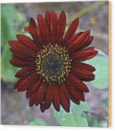 Deep Red Sunflower Wood Print
