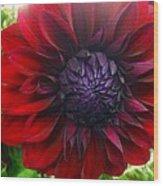 Deep Red To Purple Dahlia Flower Wood Print