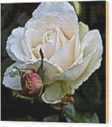 A Rose Of Delicate Beauty Wood Print