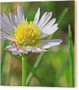 Delicate Daisy In The Wild Wood Print
