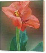 Delicate Red-orange Canna Blossom Wood Print