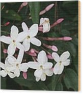 Delicate White Jasmine Blossom With Green Background  Wood Print