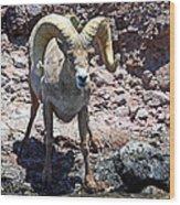 Desert Bighorn Sheep Wood Print