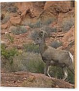 Desert Bighorn Sheep Wood Print