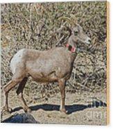 Desert Bighorn Sheep Ewe With Radio Wood Print
