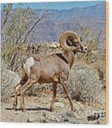 Desert Bighorn Sheep Ram At Borrego Wood Print
