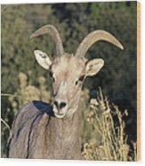 Desert Bighorn Sheep Zion National Park Wood Print