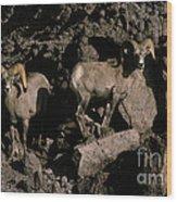 Desert Bighorns Ovis Canadensis Nelsoni Wood Print