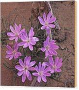 Desert Chicory Rafinesquia Neomexicana Wood Print