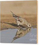 Desert Finch Carduelis Obsoleta Wood Print