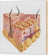 Detailed Cutaway Diagram Of Human Skin Wood Print