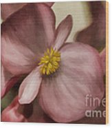 Dewy Pink Painted Begonia Wood Print