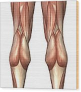 Diagram Illustrating Muscle Groups Wood Print