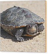 Diamondback Terrapin Turtle Wood Print by Diane Rada