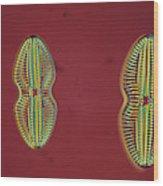 Diatom - Navicula Wood Print