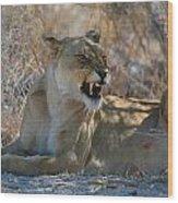 Disgruntled Lioness Wood Print