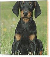 Doberman Pinscher Puppy Wood Print
