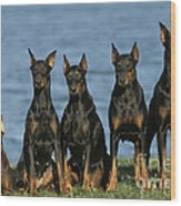Doberman Pinschers Wood Print