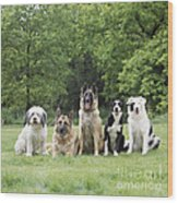 Dogs, Various Breeds In A Line Wood Print