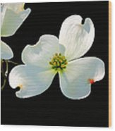 Dogwood Blossoms Painted For Jerry Wood Print