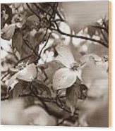Dogwood Blossoms Wood Print by Sharon Popek