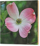 Dogwood Blosssom Wood Print