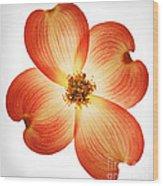 Dogwood Flower Wood Print