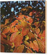 Dogwood In Autumn Colors Wood Print