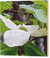 Dogwood In Yosemite Valley-2013 Wood Print