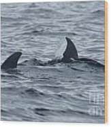 dolphins in Panama Wood Print