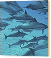 Dolphins Spinners Wood Print