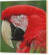 Dont You Dare To Stare Macaw Wood Print