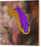 Dottybacks Reef Fish Wood Print