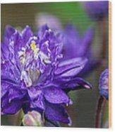 Double Blue Columbine Flower Wood Print