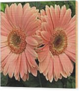 Double Delight - Coral Gerbera Daisies Wood Print