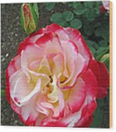 Double Delight Hybrid Tea Rose Wood Print
