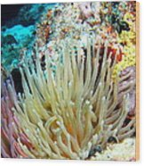 Double Giant Anemone And Arrow Crab Wood Print
