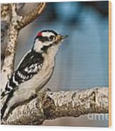 Downy Woodpecker Pictures 34 Wood Print