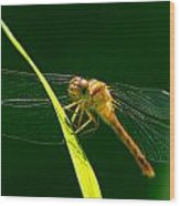 Dragon Fly On Grass Wood Print
