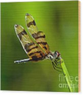 Dragonfly Eating Wood Print