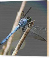 Dragonfly - Great Blue Skimmer Wood Print